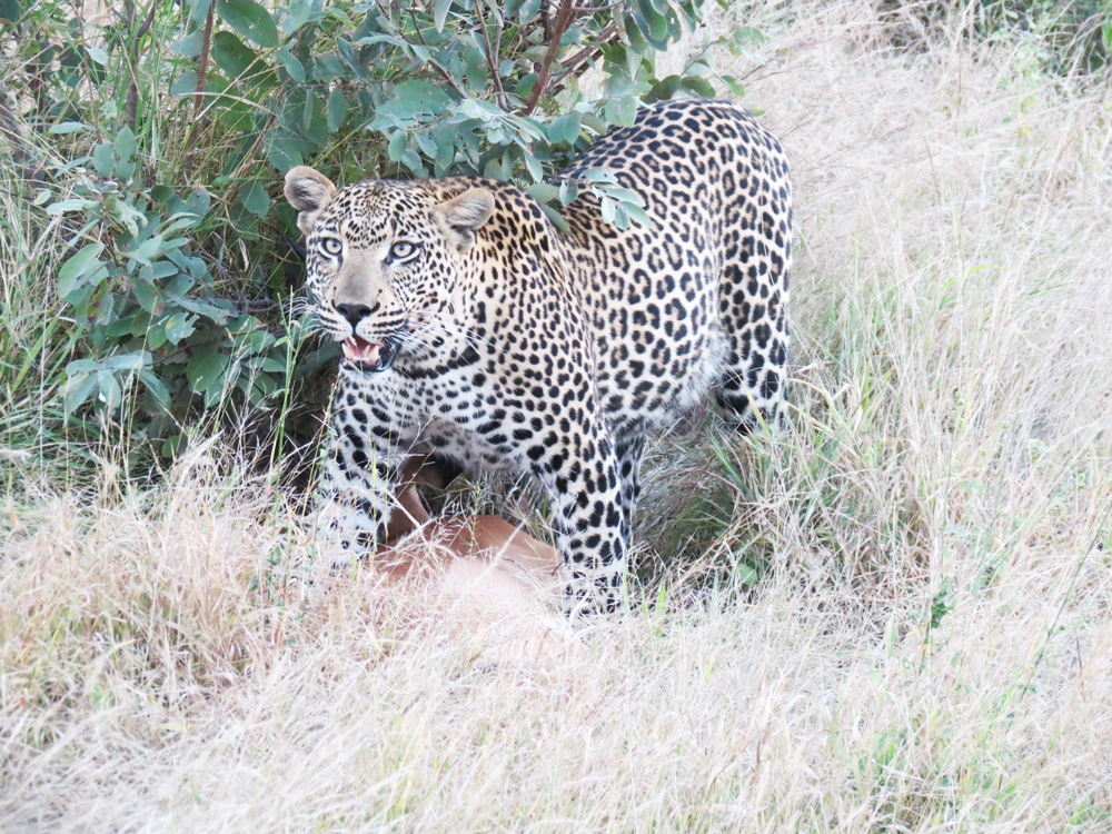 LeopardKill2