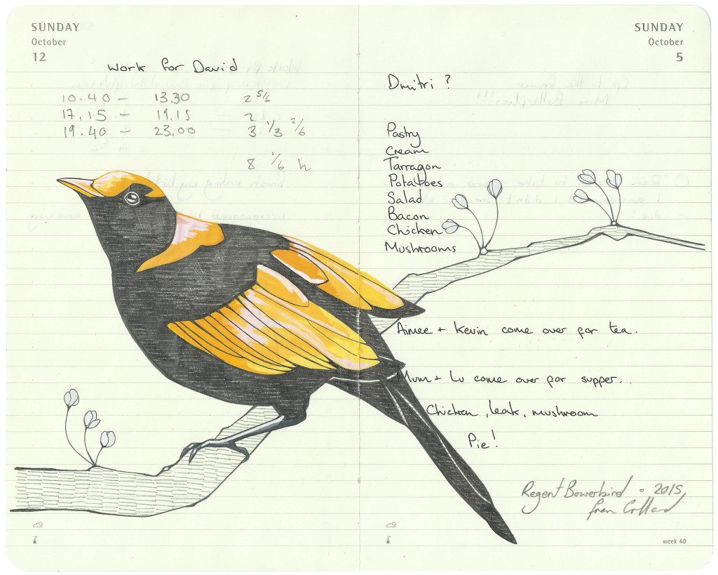 Regent Bowerbird - - Fran Giffard Interview, Little Observationist